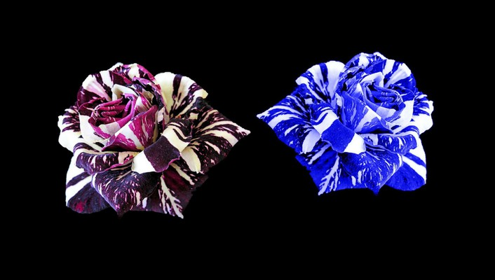 Roses collage for carol wallpaper