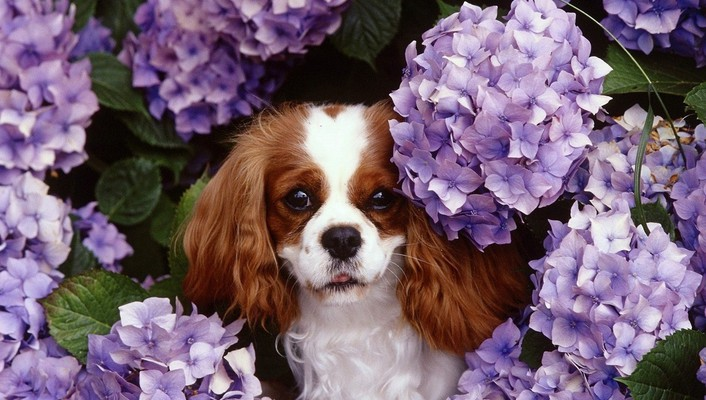 Animals dogs spaniel king charles hydrangeas wallpaper