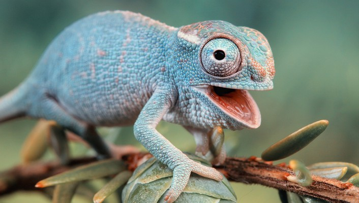 Animals blue chameleons funny lizards wallpaper