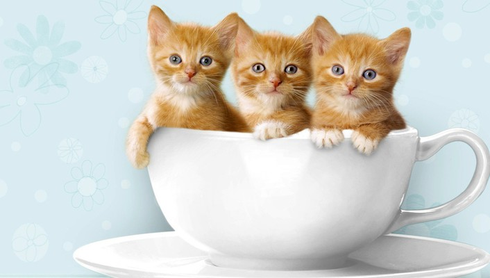 Cups kittens three wallpaper