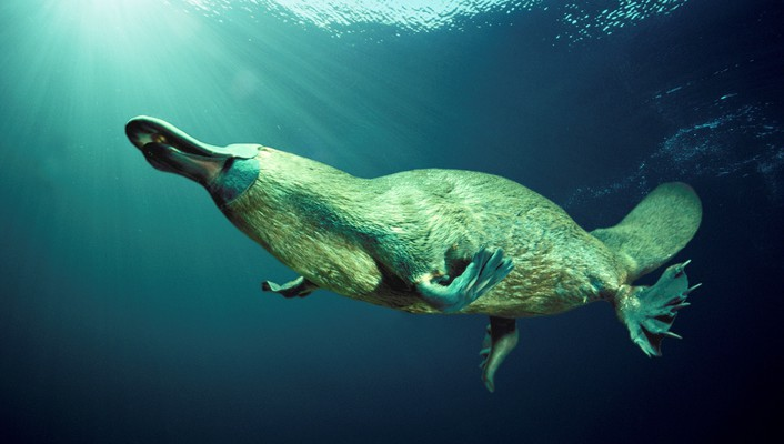 Animals platypus wallpaper