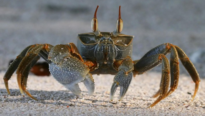 Probe animals crabs crustacean wallpaper