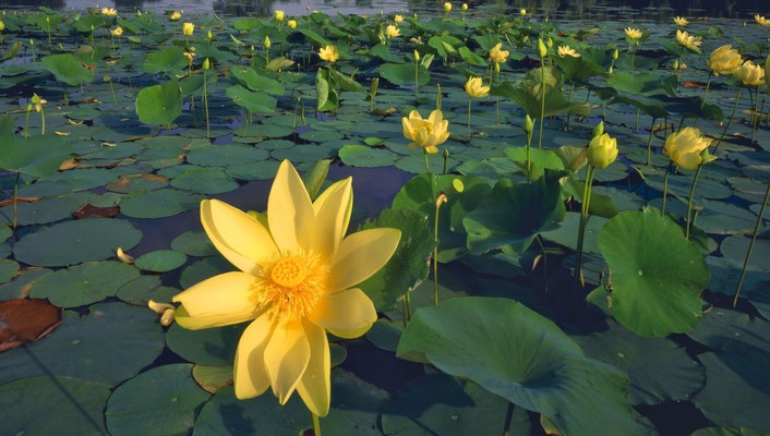 Yellow waterlilies wallpaper