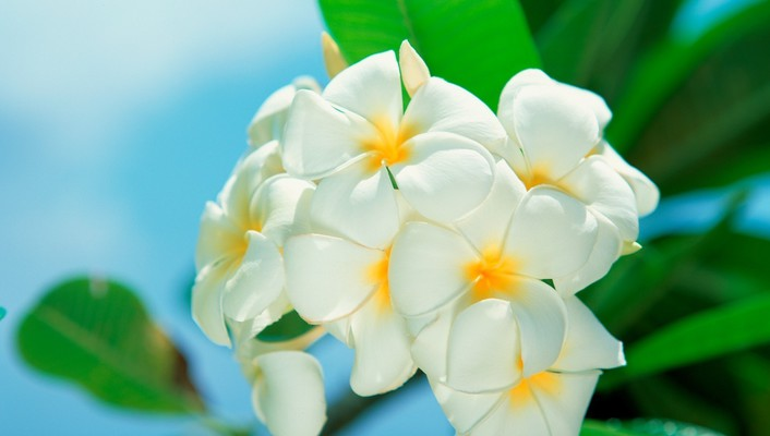 Beaches flowers plumeria white wallpaper