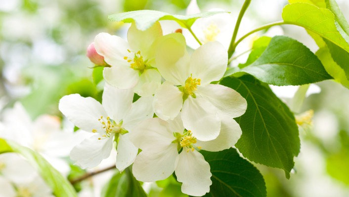 Flowers blooming cherry wallpaper