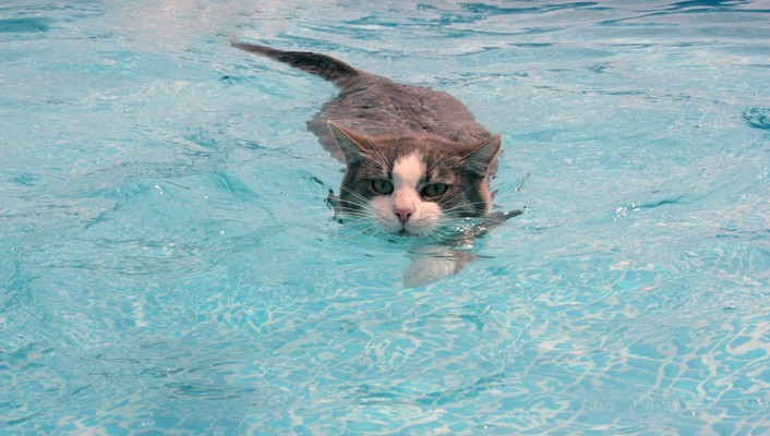 Animals cats swimming water wallpaper