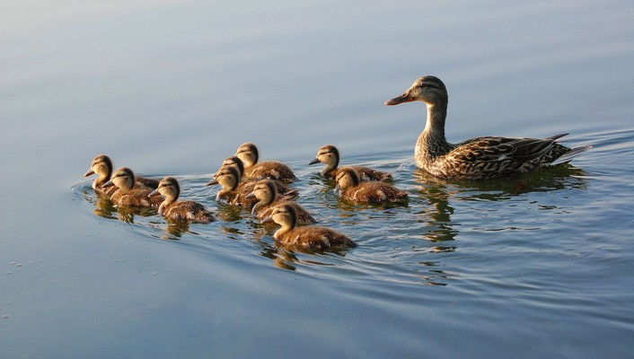 Nature family ducks duckling baby birds wallpaper