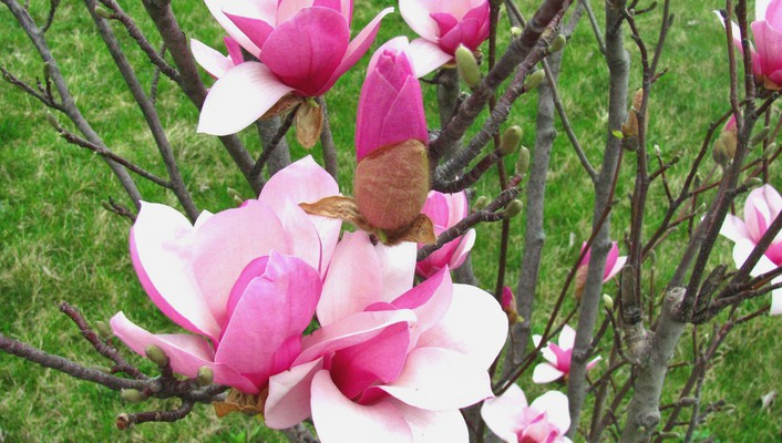Spring magnolia blooms wallpaper