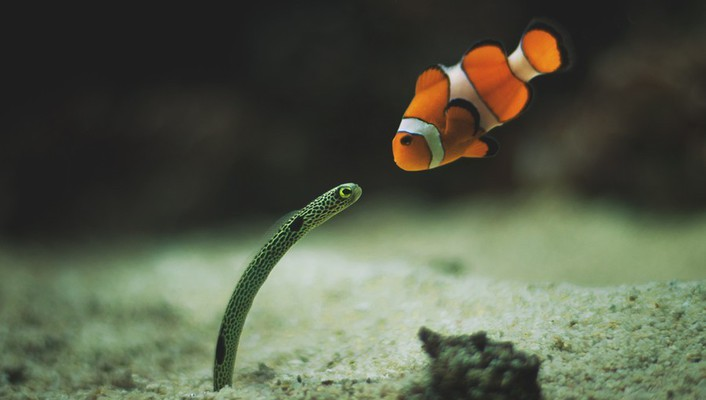 Fish clownfish underwater worms nemo wallpaper