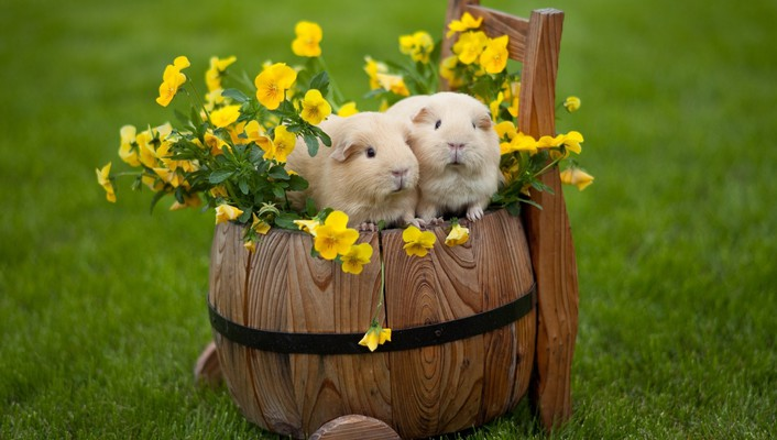 Grass guinea pigs pet wallpaper
