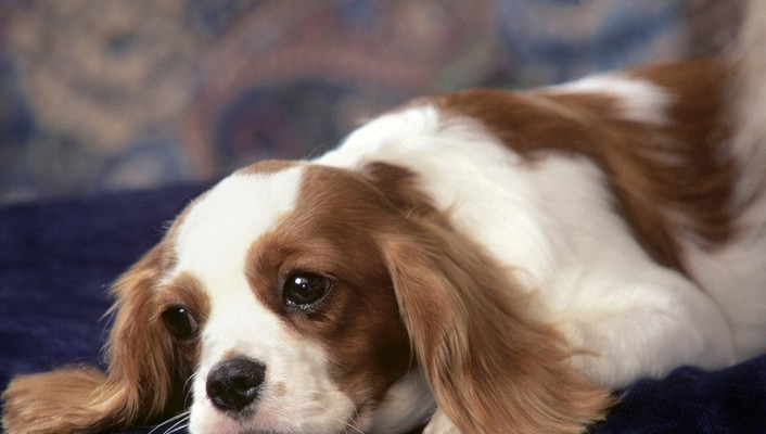 Animals dogs king charles spaniel wallpaper