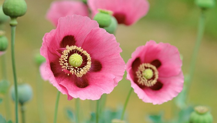 Flowers pink poppies wallpaper