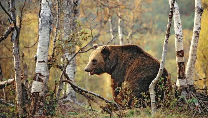 Bears birch brown forests wallpaper