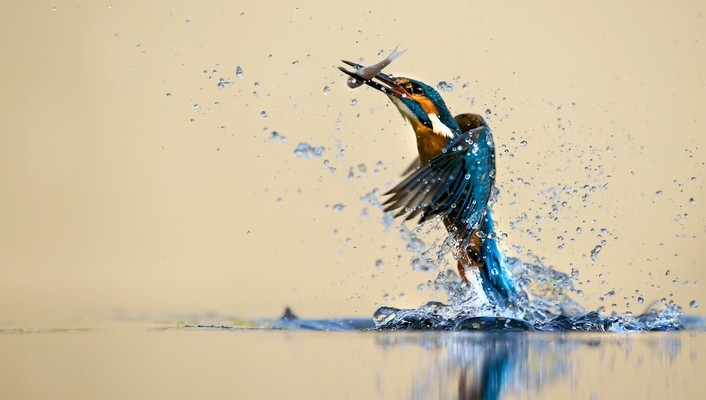 Birds hunt kingfisher nature water wallpaper