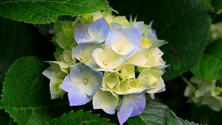 Nature hydrangeas wallpaper