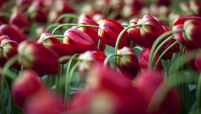 Flowers nature tulips wallpaper