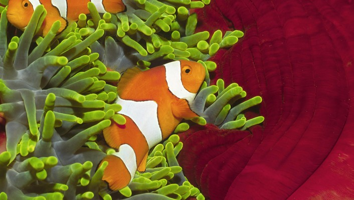 Clownfish islands pair wallpaper