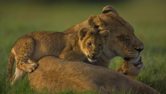 Lioness with a cub wallpaper