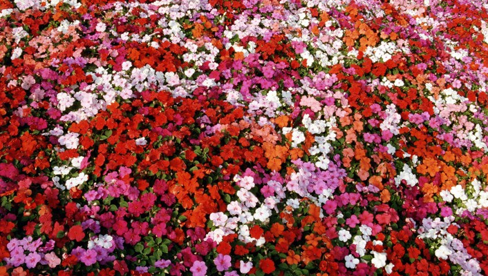 Bed of impatiens wallpaper