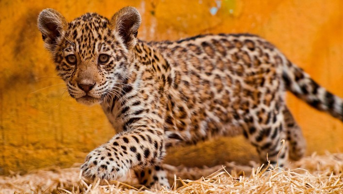 Animals kittens jaguars baby wallpaper