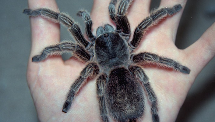 Grammostola rosea animals arachnids left spiders wallpaper