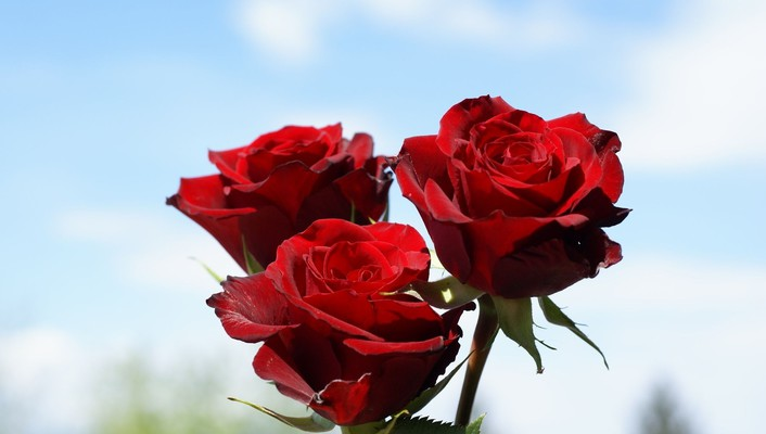 Deep red roses wallpaper