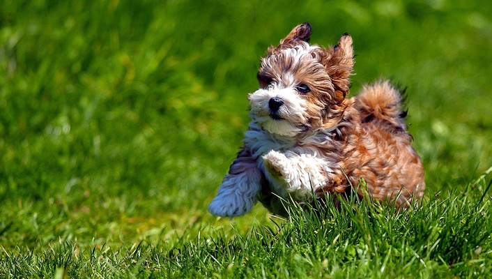 Cute havanese puppy wallpaper