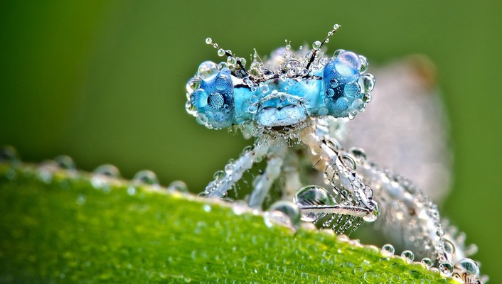 Animals insects macro dragonflies wallpaper