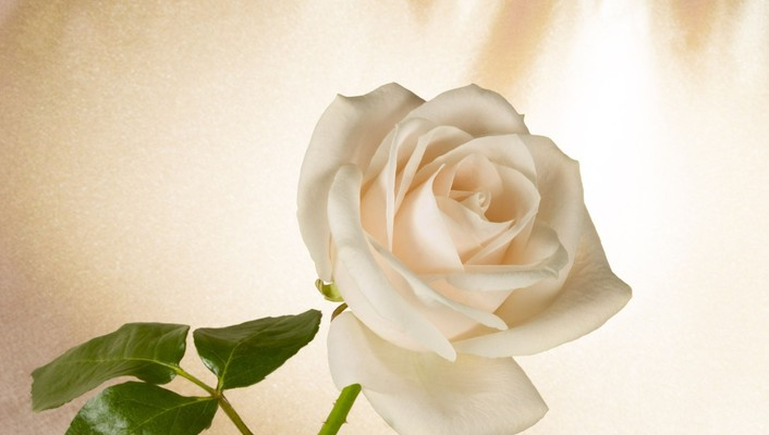 White rose for my friend yaty wallpaper
