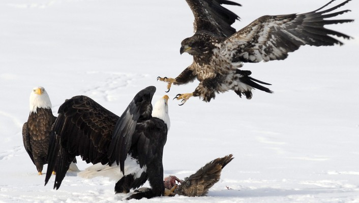 Animals bald eagles reservoir wallpaper