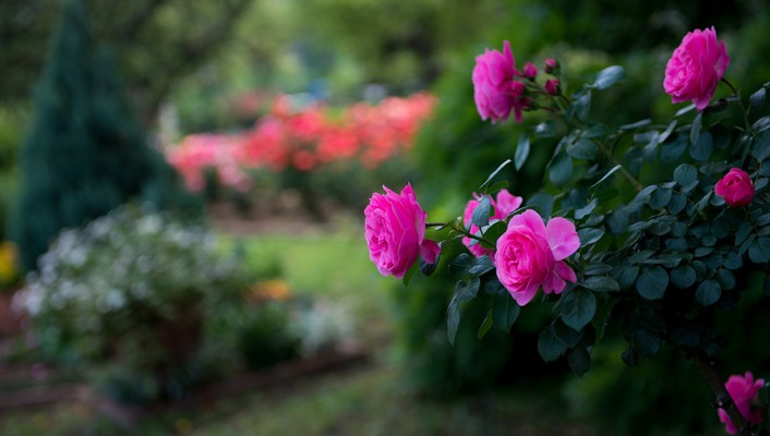 Flowers roses pink blurred background park wallpaper