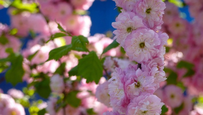 Cherry blossoms flowers pink wallpaper