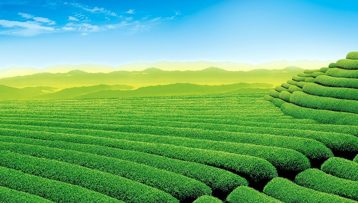 Beautiful tea garden wallpaper