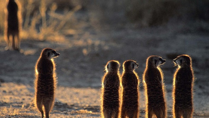 Animal world backlights meerkats wallpaper