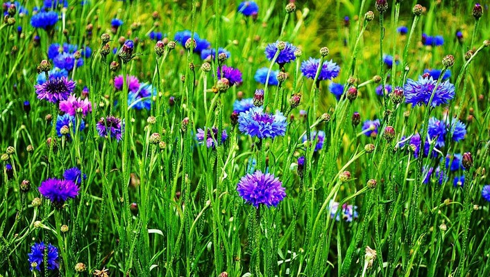 Cornflowers field wallpaper