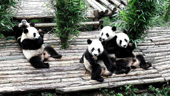 Animals panda bears wallpaper