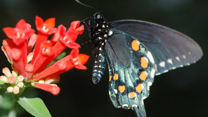 Pipevine swallowtail on butterfly wallpaper