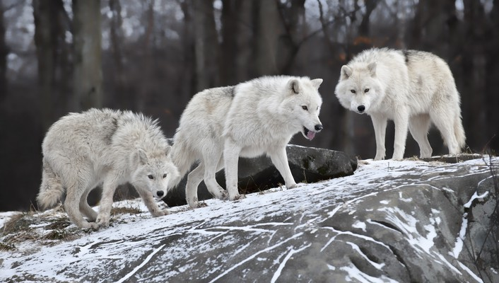 Nature animals white wolf wolves wallpaper
