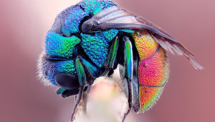 Hymenopthera insects iridescence macro multicolor wallpaper