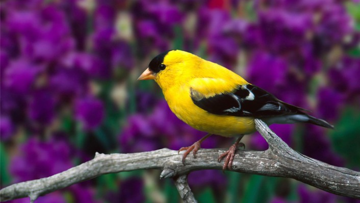 Goldfinch birds wallpaper